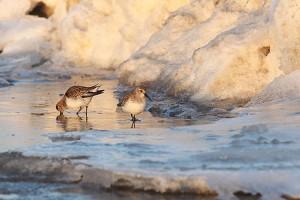 Pfeiffentenpäärchen im Eis