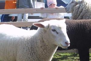 Geschätzt... das Lamm aus Nordfriesland