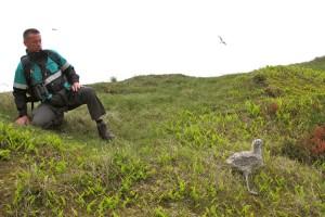Auch die Küken der seltenen Mantelmöwe, Europas größte Möwenart, sind schon sehr groß
