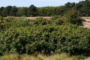 Die Kartoffel-Rose bedeckt weite Teile der Heide