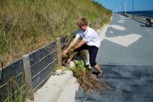 Mitarbeiter des Carl Zeiss Naturzentrums Amrum bei der Entfernung von Sand-Nachtkerzen an der Wittdüner Wandelbahn. Deutlich zu sehen sind die langen und dicken Wurzeln der Pflanze, mit der sie die Uferbefestigung zerstören kann.
