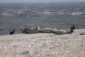 Seehunde an der Amrumer Odde