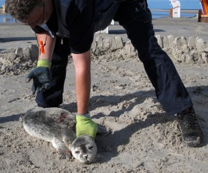 Seehundjäger Kai Dethlefsen versorgt einen verletzten Seehund