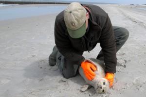 Seehundjäger Kai Michael Prellwitz-Paulsen bei der Untersuchung eines Heulers