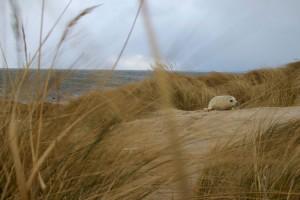 Junge Kegelrobbe in den Dünen