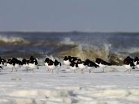 Austernfischer im Schnee