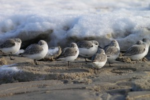 Sanderlinge suchen den Windschatten einer Schneeverwehung
