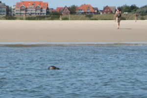 Ein Seehund beobachtet die Einhaltung der Absperrung...