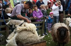 Wenn es drauf ankommt, braucht Ingwer Abraham 3 Minuten für eine Schafschur. Aber bei den Lammtagen ließ er sich Zeit