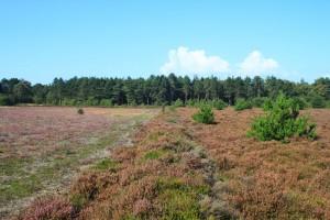 Deutlich zu erkennen ist der Unterschied zwischen stark blühender gepflegter Heide (links) und schwach blühender ungepflegter und verbuschter Heide