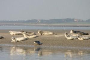 Gesunde Tiere auf einer Sandbank vor Amrum