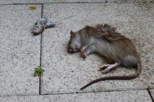"""Erfreulicher """"Zustand"""" einer Ratte"""