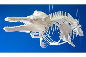 Das Schweinswalskelett