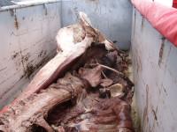 Das Amrumer Pottwal-Skelett transportbereit im Container