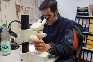 Dr. Chrobock bereitet ein Haar für die DNA Analyse vor...