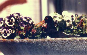 Austernfischer-Gelege im Blumentopf