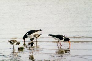 Alle Jungvögel großzuziehen gelingt einem Austernfischerpaar nur selten