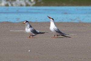 Die vom Aussterben bedrohte Zwergseeschwalbe Foto: T. Chrobock