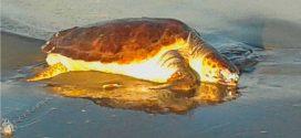 Meeresschildkröte auf Amrum…