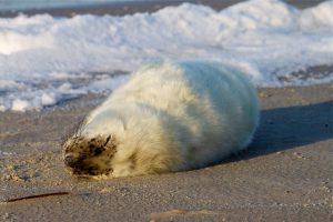 Junge Kegelrobbe sonnt sich am Strand