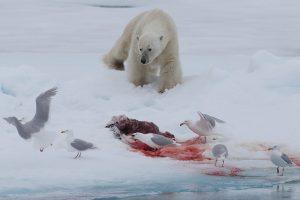 Dem Eisbären werden Teile seiner Beute stibitzt