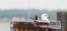 Verrückte Brutplätze von Sturmmöwen und Austernfischern
