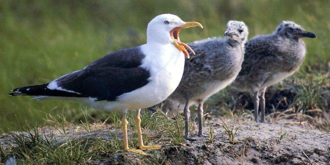 Heringsmöwen – Hauptbrutvogel auf Amrum